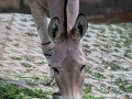 zoo_warschau_somali_wildesel_3704_web