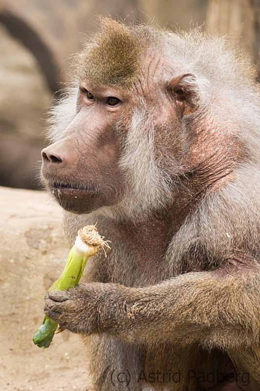 zoo_warschau_mantelpavian_3817_web