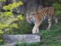 tiger_3709_web