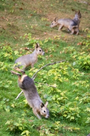 Große Mara, Jungtiere