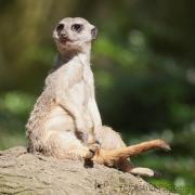 Erdmännchen;Suricata suricatta