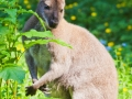 Bennettskänguru;Macropus rufogriseus