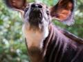 Okapi (Thabo)