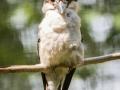 Kookabura, Jägerliest