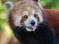 Kleiner Panda; Roter Panda; red panda; Ailurus fulgens