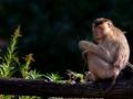 Südlicher Schweinsaffe; Macaca nemestrina; southern pigtailed macac